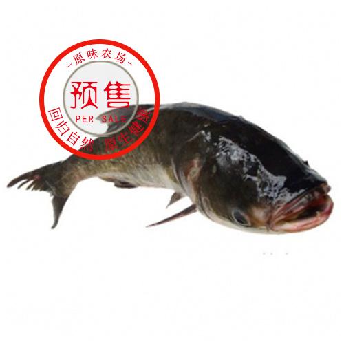 蟠龙湖大头鱼(花鲢)4-5斤/条